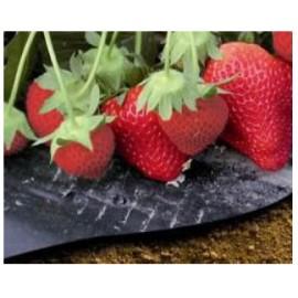 Microgeperforeerde mulchfolie aardbeien 12st Vilmorin
